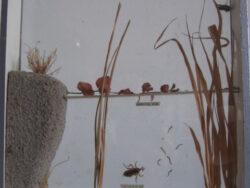 Bromvlieg vintage school leermiddel met verschillende stadia van de ontwikkeling van de bromvlieg achter glas. Conditie goed.